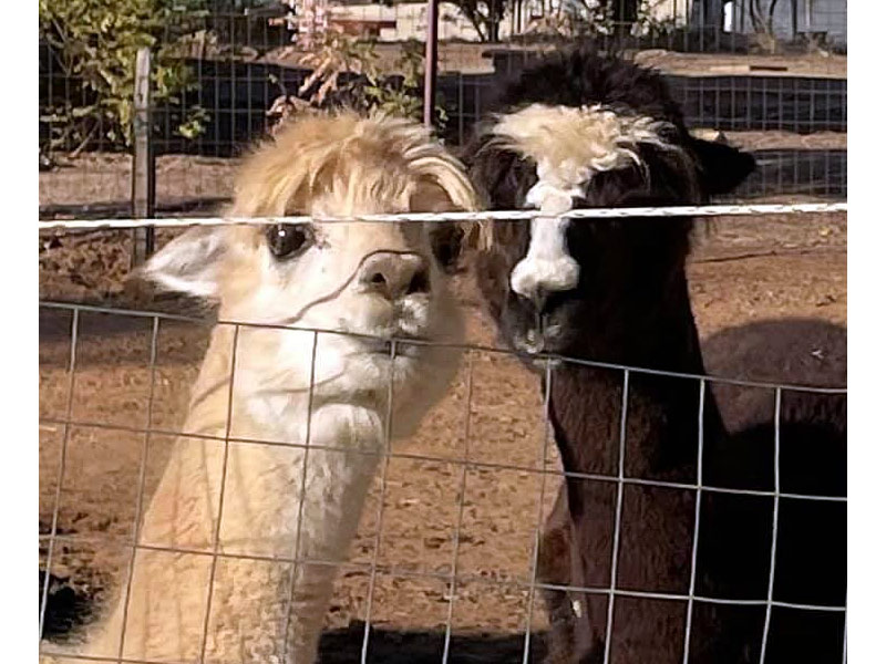 Goofy alpaca girls