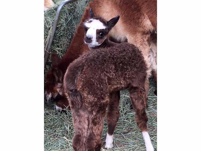 """Reese's Bellwether """"Bella"""" alpaca"""