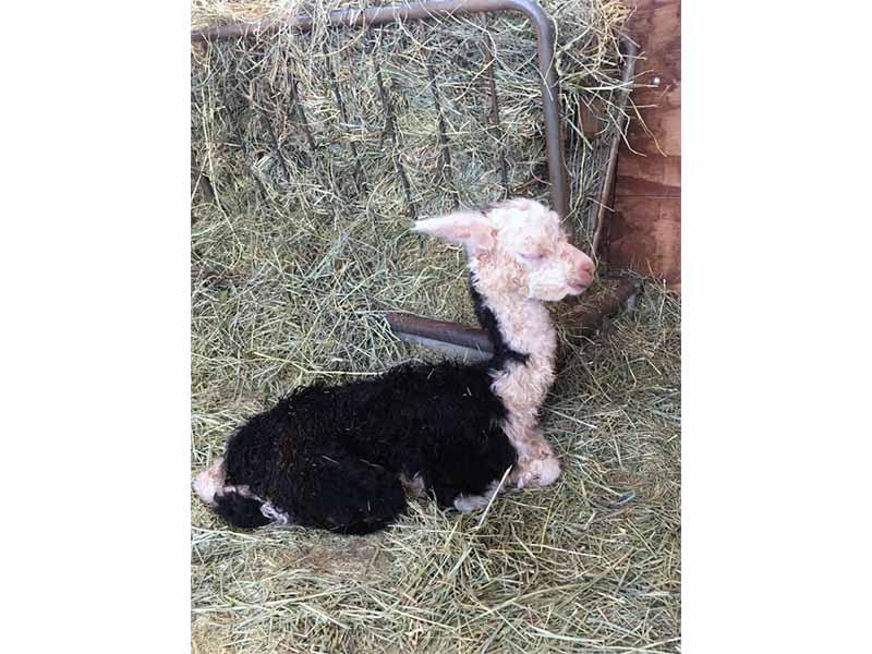 Quake newborn alpaca cria, July 9 2021, resting in straw
