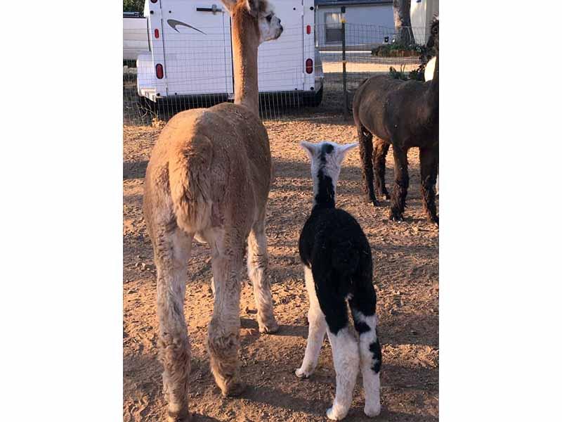 Quake newborn alpaca cria, July 9 2021, with mom Tiffany